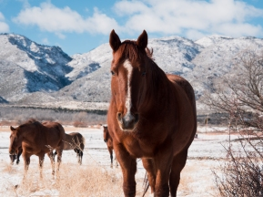 Horses in a snowy field with mountain backdrop